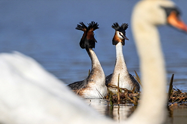 Great crested grebe (Podiceps cristatus) pair in courtship dance, viewed past a Mute swan (Cygnus olor). Oslo, Norway. April.