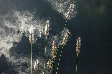 RF - Timothy grass (Phleum pratense), pollen spreading from spikes. Norway. July. (This image may be licensed either as rights managed or royalty free.)