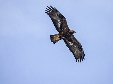 RF - Golden eagle (Aquila chrysaetos) in flight. Lofoten, Norway. April. (This image may be licensed either as rights managed or royalty free.)