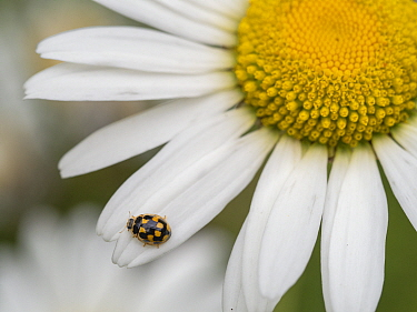 RF - 14-spotted ladybird (Propylea quatuordecimpunctata) on Oxeye daisy (Leucanthemum vulgare). Akershus, Viken, Norway. July. (This image may be licensed either as rights managed or royalty free.)