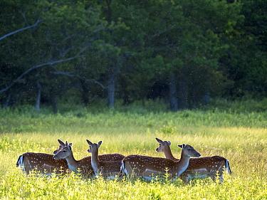 Fallow deer (Dama dama) herd in grassland with Midges overhead. Oland, Gotland, Sweden. June.