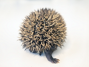 Hedgehog (Erinaceus europaeus) aged two weeks in rehabilitation centre, rear view. Norway. July. Captive. Controlled conditions.