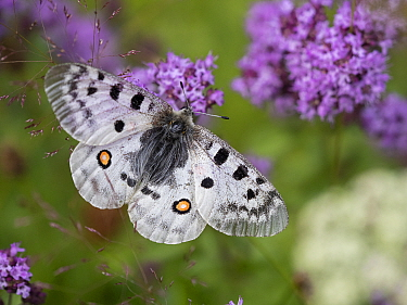 Apollo butterfly (Parnassius apollo). Telemark, Norway. July.