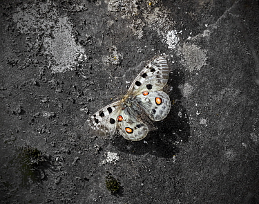 Apollo butterfly (Parnassius apollo) in flight over ground. Telemark, Norway. July.
