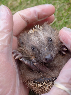 Hedgehog (Erinaceus europaeus) aged two months, held in hands. In rehabilitation. Akershus, Norway. July. Captive.