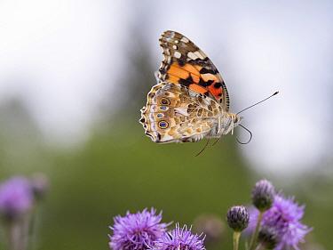 Painted lady butterfly (Vanessa cardui) in flight. Akershus, Viken, Norway. August.