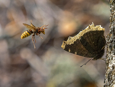 European hornet (Vespa crabro) launching attack on resting Camberwell beauty butterfly (Nymphalis antiopa). Akershus, Norway. August.