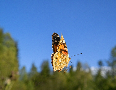 Painted lady butterfly (Vanessa cardui) in flight. Akershus, Norway. August.