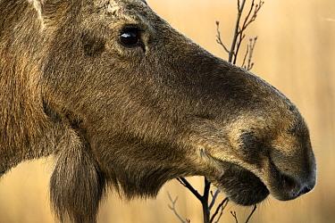 Moose (Alces alces) portrait. Biebrza National Park, Poland. April.