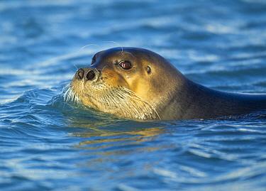 Bearded seal (Erignathus barbatus) swimming with head above water. Svalbard, Norway. September.