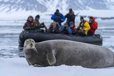 Bearded seal (Erignathus barbatus) resting on ice, tourists taking photographs from boat in background. Isfjorden, Svalbard, Norway. May 2018.