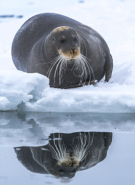 Bearded seal (Erignathus barbatus) hauled out on ice, reflected in water. Svalbard, Norway. May.