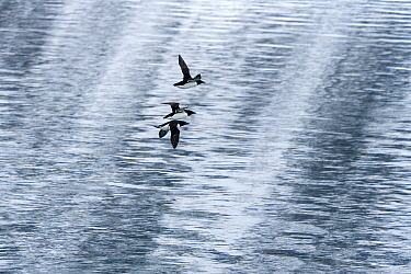 Thick-billed murre (Uria lomvia), three in flight over sea. Krossfjorden, Svalbard, Norway. April.