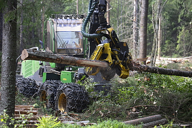 Logging in coniferous forest, harvester moving log. Akershus, Norway. August 2019.