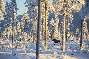 Moose (Alces alces) walking through snow covered forest in morning light. Osterdalen Valley, Innlandet, Norway. January 2017.