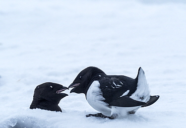 Little auk (Alle alle) pair in courtship after spring migration. Fuglehuken, Prins Karls Forland, Svalbard, Norway. April.
