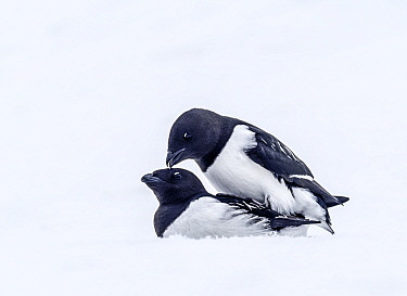 Little auk (Alle alle) pair mating in snow. Fuglesangen, Svalbard, Norway. April.