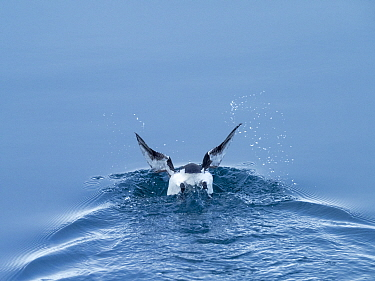 Thick-billed murre (Uria lomvia) diving. Krossfjorden, Spitsbergen, Svalbard, Norway. April. Sequence 1/5.