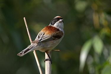 Penduline tit (Remiz pendulinus) perched on Reed. Danube delta, Romania. May.