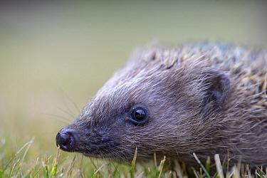 Hedgehog (Erinaceus europaeus) aged two months, portrait. Akershus, Viken, Norway. July.