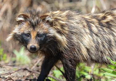 Raccoon dog (Nyctereutes procyonoides) portrait. Danube delta, Romania. May.