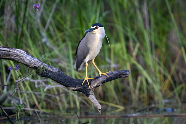 Black-crowned night heron (Nycticorax nycticorax) perched on tree snag beside water. Danube delta, Romania. May.
