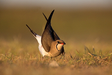Black-winged pratincole (Glareola nordmanni) displaying. Danube delta, Romania. June.