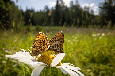 Bog fritillary butterfly (Boloria eunomia) pair mating on Oxeye daisy (Leucanthemum vulgare) flower in meadow. Akershus, Viken, Norway. July 2019.
