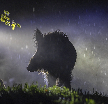 Wild boar (Sus scrofa) sow silhouetted in rain at night. South Sweden. May.