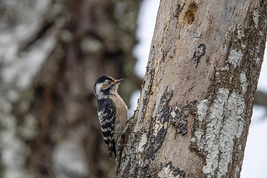 Lesser spotted woodpecker (Dendrocopos minor) feeding on tree trunk. Akershus, Viken, Norway. April.