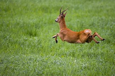 Roe deer (Capreolus capreolus) buck in mid-air, running away. Akershus, Viken, Norway. August.