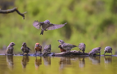 Parrot crossbill (Loxia pytyopsittacus) flock drinking at water's edge. Alicante, Valencian Community, Spain. August.