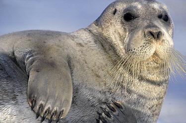 Bearded seal (Erignathus barbatus) resting, portrait. Svalbard, Norway. July.
