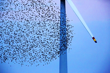 Starling (Sturnus vulgaris) murmuration in close proximity to rotating wind turbine blade. On border of Germany and Denmark. October 2013.