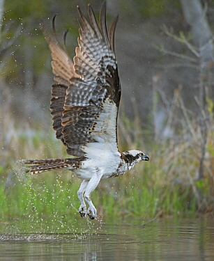 Osprey (Pandion haliaetus) fishing. Acadia National Park, Maine, USA. May.