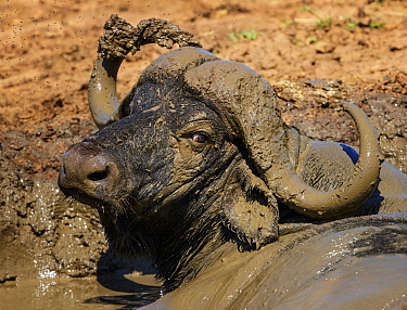 African buffalo (Syncerus caffer) male, wallowing in mud, Kruger National Park, South Africa.