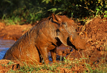 Warthog (Phacochoeros aethiopicus) covered in mud after wallowing, Kruger National Park South Africa.
