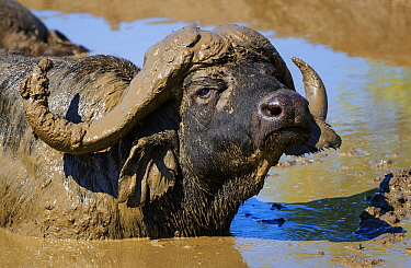 African Buffalo (Syncerus caffer) male, wallowing in mud. Kruger National Park, South Africa, February.