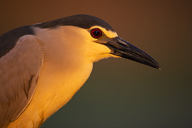 Black-capped Night heron (Nycticorax nycticorax) , Pusztaszer protected landscape, Kiskunsagi, Hungary, May