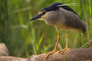 Black-capped night heron (Nycticorax nycticorax) Pusztaszer protected landscape, Kiskunsagi, Hungary, May