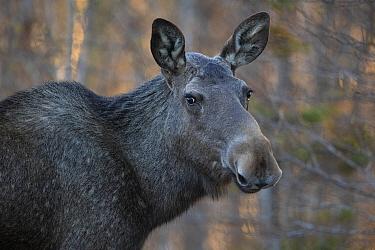 European Moose or Elk, (Alces alces), Flatanger, Trondelag, Norway, May.