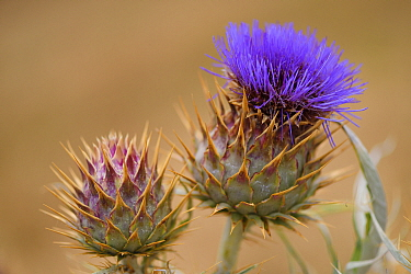 The wild ancestor of the cultivated Artichoke (Cardoon cardunculus) also called the artichoke thistle, Coa Valley, Portugal, July
