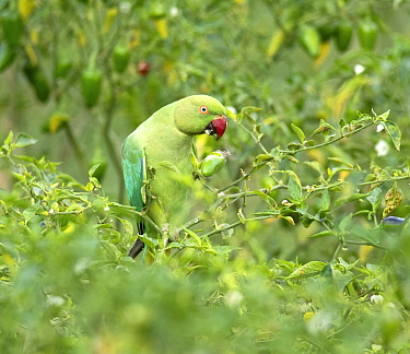 Rose-ringed parakeet (Psittacula krameri) female feeding on green chilli, Karnataka, India.