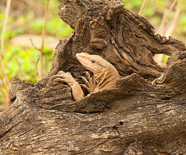 Common Indian monitor (Varanus bengalensis), Ranthambhore National Park, Rajasthan, India.