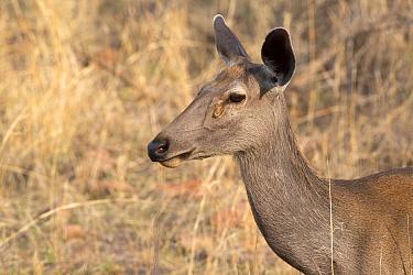 Sambar doe ( Cervus unicolor), Ranthambhore National Park, Rajasthan, India, June.