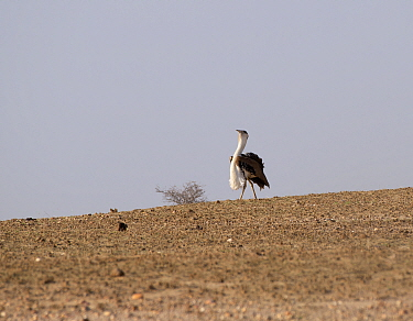 Great Indian Bustard ( Ardeotis nigriceps) displaying male, Rajasthan, India. July.