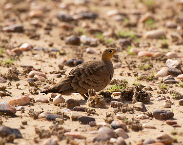 Chestnut-bellied Sandgrouse ( Pterocles exustus), male with wel lcamouflaged chicks on stoney ground, Rajasthan, India, July