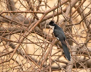Pied cuckoo (Clamator jacobinus), Ranthambhore National Park, Rajasthan, India