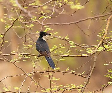 Pied cuckoo (Clamator jacobinus), Ranthambhore NP, Rajasthan, India
