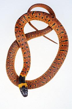 Redback coffee snake (Ninia sebae), captive, Finca Nueva Linda, El Triunfo Biosphere Reserve, Chiapas, southern Mexico, April